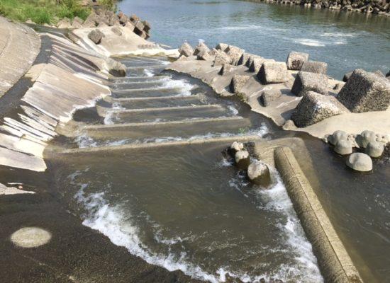 菅間堰の魚道が完成、標識アユ3,000匹を放流して魚道の機能を検証中